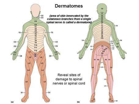Dermatomes And Myotomes Shoulder