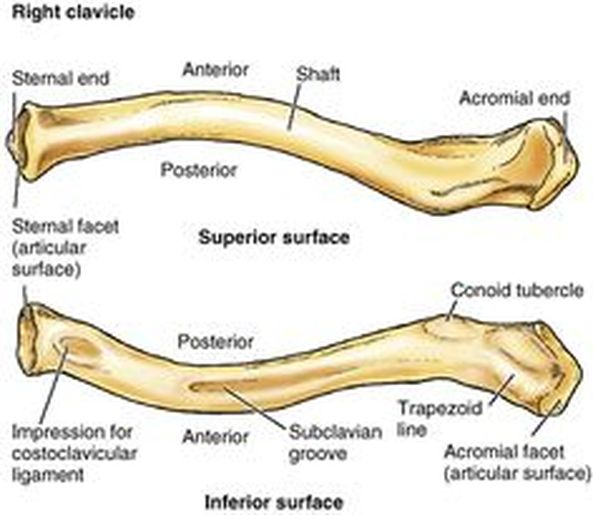 dog leg bones diagram clavicular bones diagram